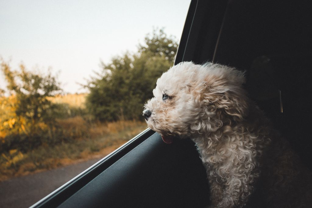 Many Dogs Love Going In The Car