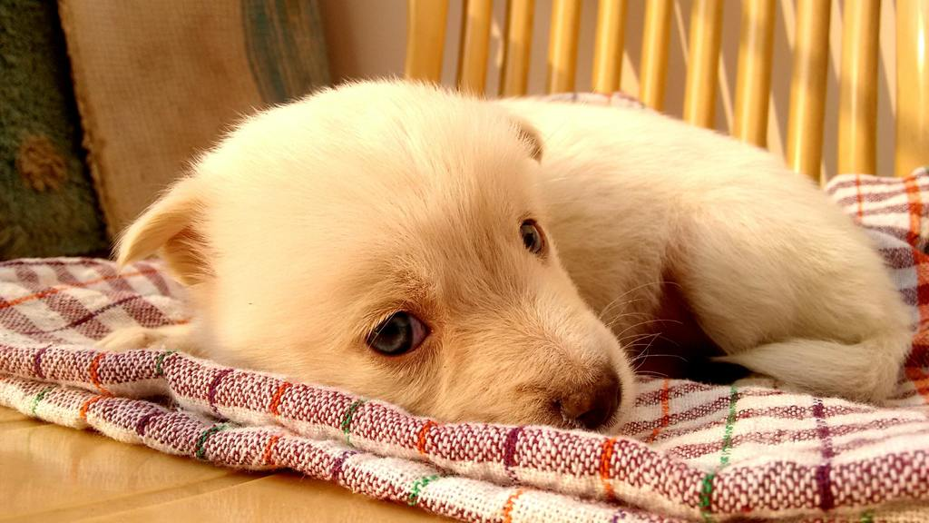 Puppy Care 101 Starts On The First Night cute puppy sleeping on a teatowel